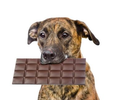Hund mit Schokolade